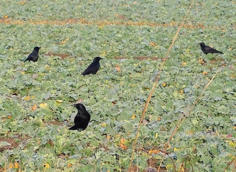 2018-12-18 bei LüchowSss (2) Rabenkrähen (Corvus corone corone) auf dem Feld